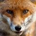 Fox up close by gingiber