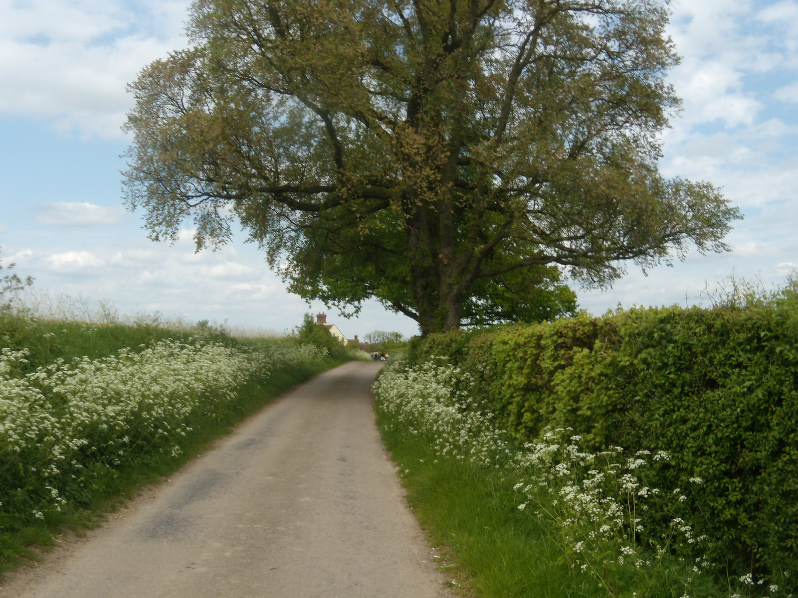 Lane with Cow Parsley Wakes Colne to Bures