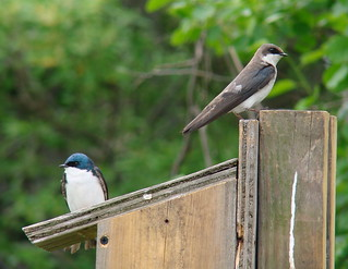 Tree Swallows on nest box | by Anita363