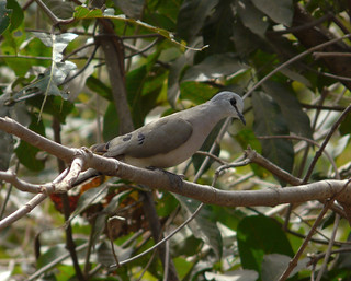 Black-billed Wood Dove P1050160 | by grebberg