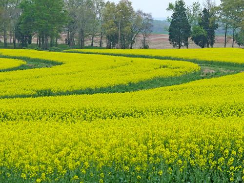 green field gold canola fz50 linescurves panasoniclumix colorsinourworld paololivornosfriends bkhagar