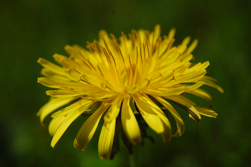 Dandilion | by Identity Photogr@phy