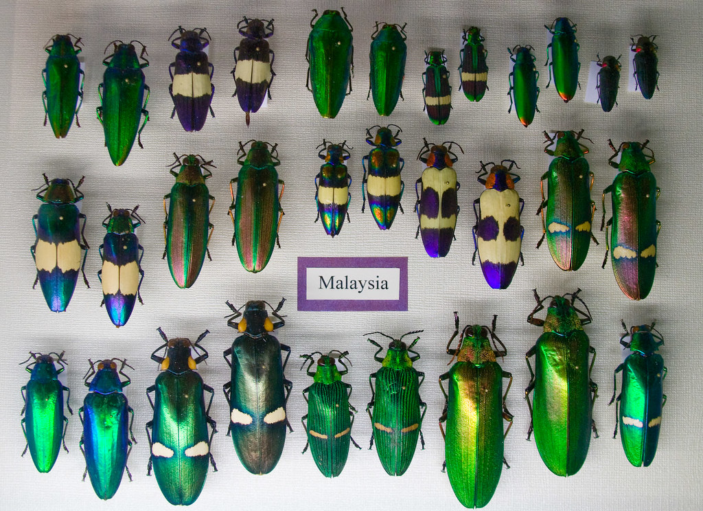 CC288 Jewel Beetles Insect Museum