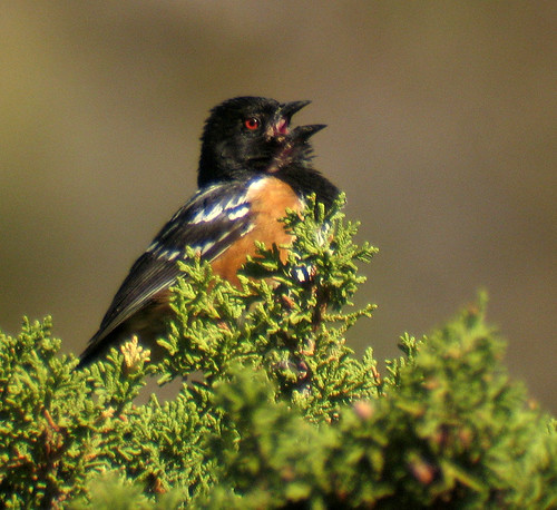 Spotted Towhee | by K Schneider
