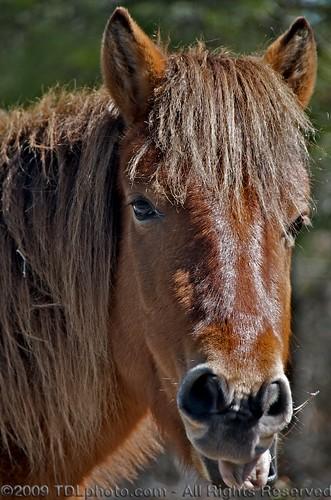 horses beach water island virginia nationalpark sand unitedstates maryland pony ponies breed oceancity assateagueisland atlanticocean wildhorses sanddunes assateague chincoteague barrierisland spanishgalleon mdmaryland assateagueislandnationalpark
