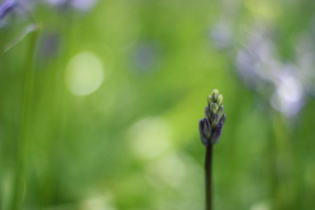 bluebells bud