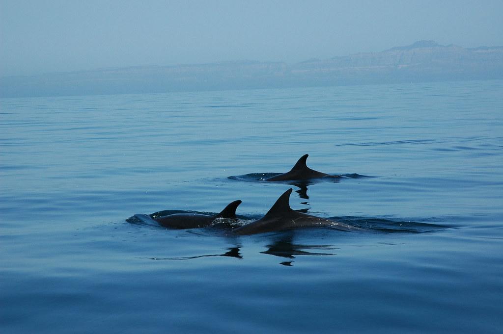 Dolphins, Los Islotes, Sea of Cortez, Baja California Sur, Mexico