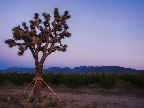 california trees sunset tree landscape desert joshua orchard valley mojave pear antelope pearblossom 2009 yucca brevifolia muzzlehatch