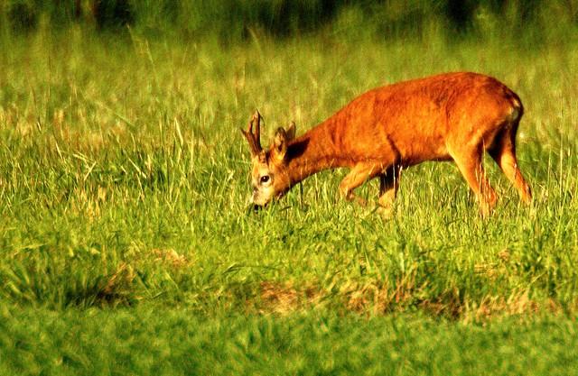 Stubbington Deer. Edit