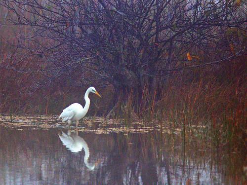 Great Egret in fog 20170225