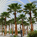 Mexican Fan Palm - Photo (c) Flores y Plantas, some rights reserved (CC BY-NC-SA)
