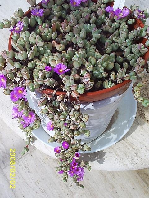 Mesembryanthemum maximilianii