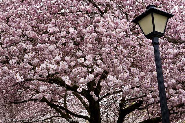 Cherry Blossoms and Lamp, State Capitol, Olympia, Washingon