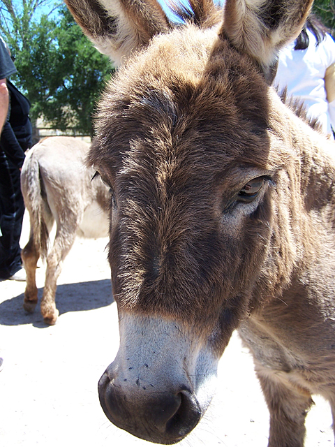 mini donkeys 2