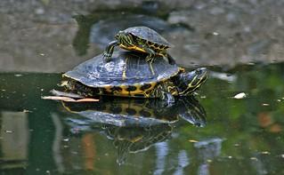 turtle.two | by Karol Franks