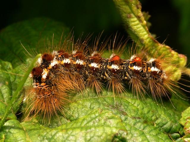 Brown-tail caterpillar - Euproctis chrysorrhoea | Brown-tail… | Flickr
