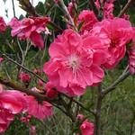 Plum Blossom - Momo 桃