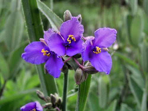 Bluejacket aka Spiderwort (Tradescantia ohiensis) | by pverdonk