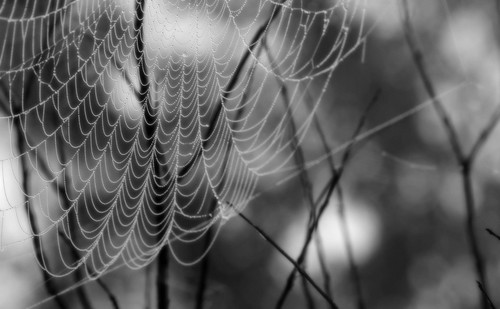 morning blackandwhite branches spiderweb dew softfocus crapemyrtle