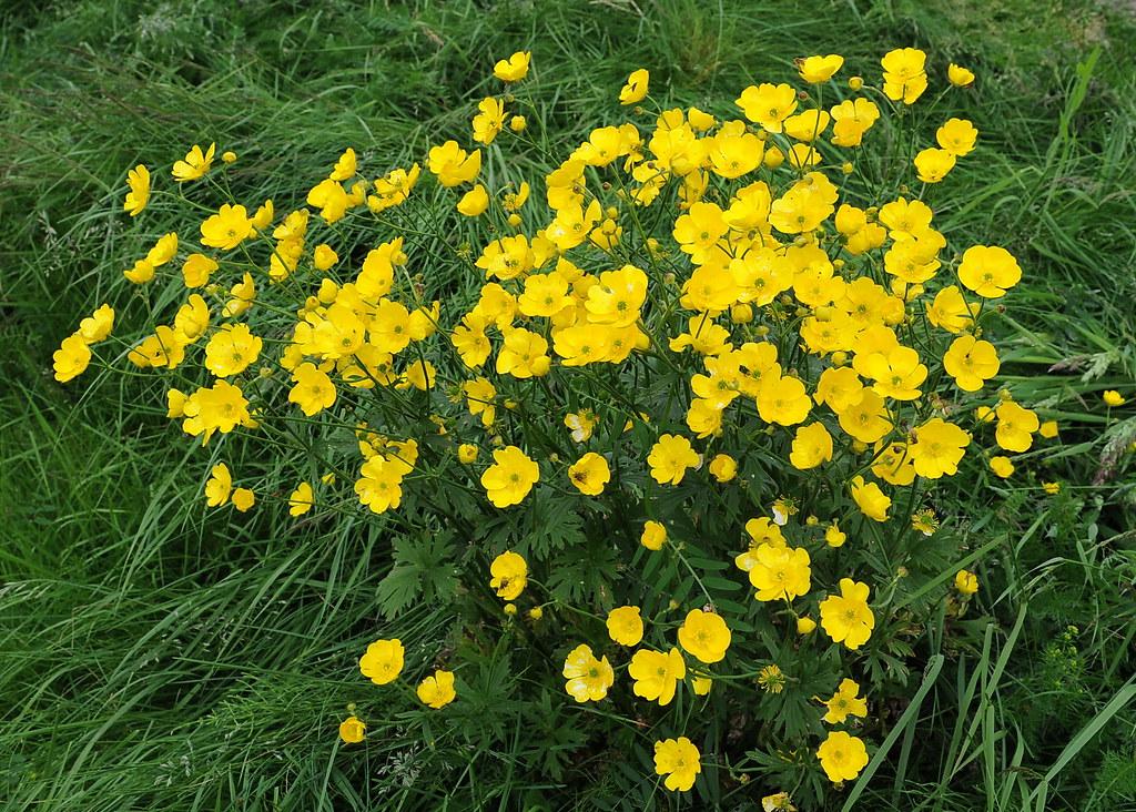 Ranunculus acris ENGSOLEIE