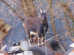 Junkyard goat