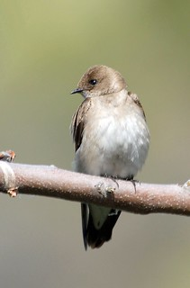 Northern Rough-winged Swallow | by birding4ever