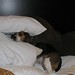 A Very Long Day Ends With Beagles Crashing at the Hotel. Fergus Repeats His Burrow-Under-the-Pillows Act