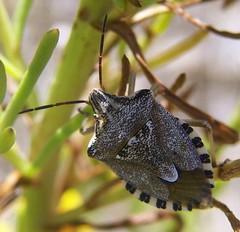 Codophila varia | by Bárbol