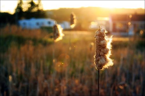 sunset reed canon eos is bokeh nb newbrunswick sj usm dslr ef saintjohn 24105mm 50d sjphoto nbphoto cans2s bmca