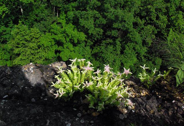 Sedum pusillum on the Edge of the Window Cliffs, Putnam Co, TN