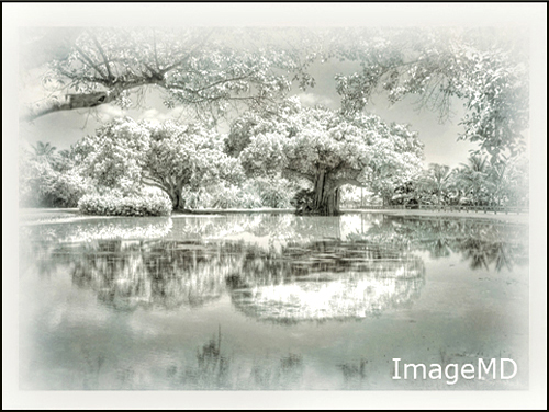Ficus Duotone