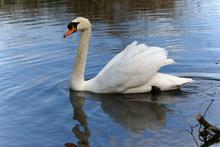 Swan | by Paul G Johnson