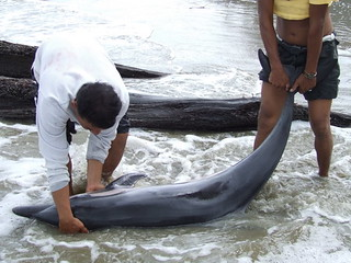 โลมาแถบ Striped Dolphin(Stenella coeruleoalba)_07