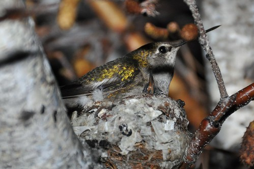 Hummingbird mom and baby in nest at night | by equitymind