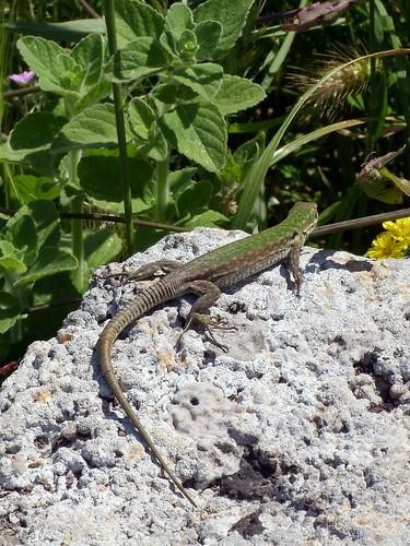 Lizard at Paestum