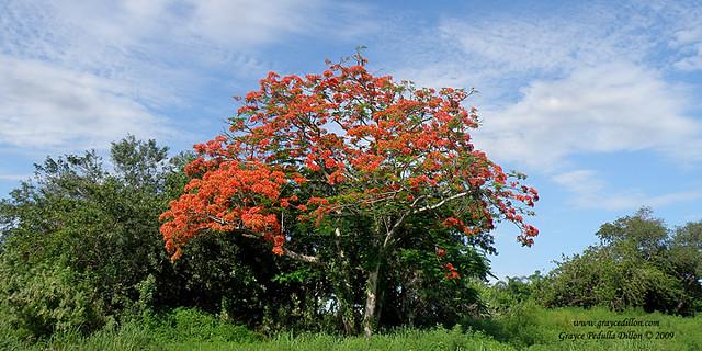 Royal Poinciana Tree, Delonix regia