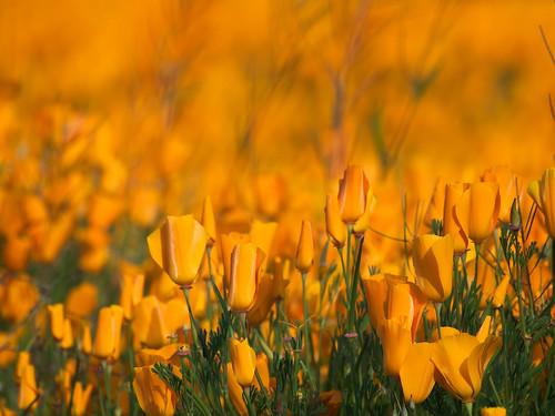 california favorite flower golden poppies 2009 muzzlehatch inttag