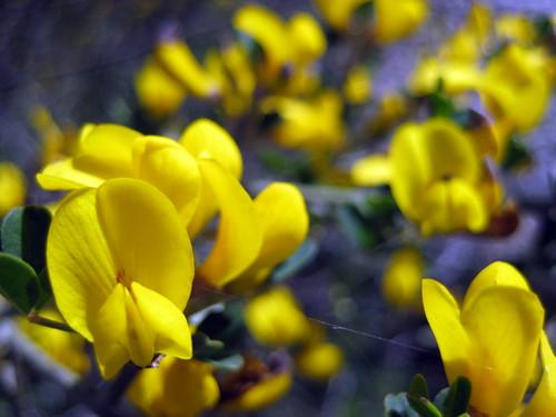 Calicotome villosa | by Sharon Greenberg