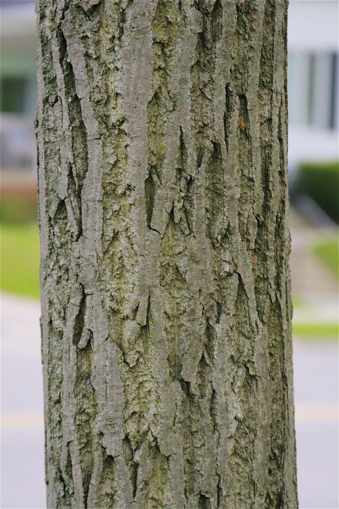 Butternut Bark | Juglans cinerea | Dan Mullen | Flickr