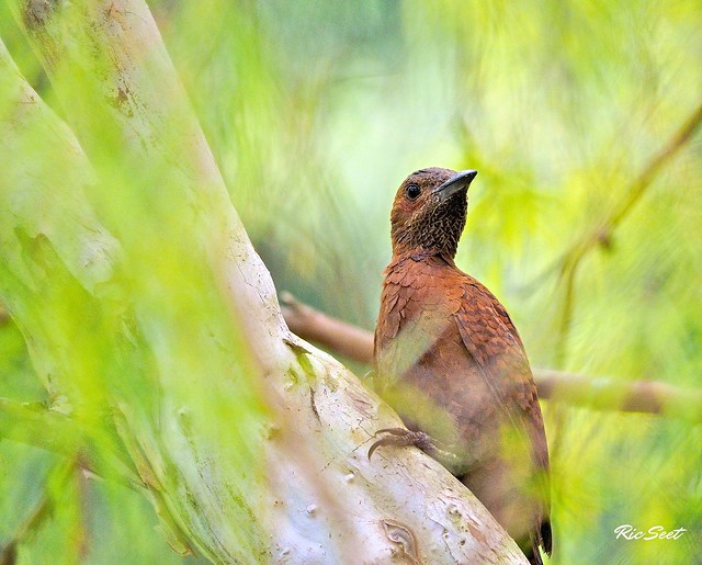 Rufous Woodpecker