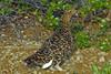 Willow Ptarmigan (Lagopus lagopus) female; Mcintyre Mountain, Whitehorse, Yukon, Canada by cbrozek21