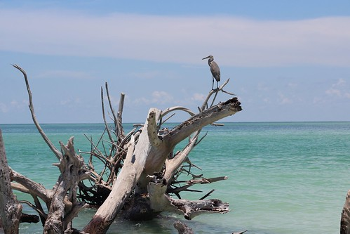 blue sky tree heron beauty clouds still warm gulf outdoor great waters tangles sunbleached unconcerned