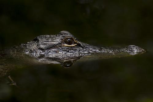 American Alligator - Big Cypress National Preserve | by Xiang&Jie