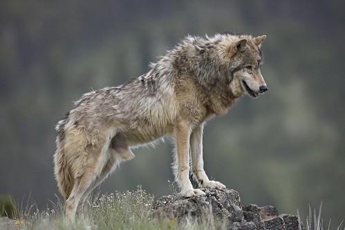 圖04.食物鏈頂端的灰狼跟生態有著密切的聯繫