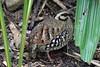 Arborophila bruneopectus by Pedroyayadrums