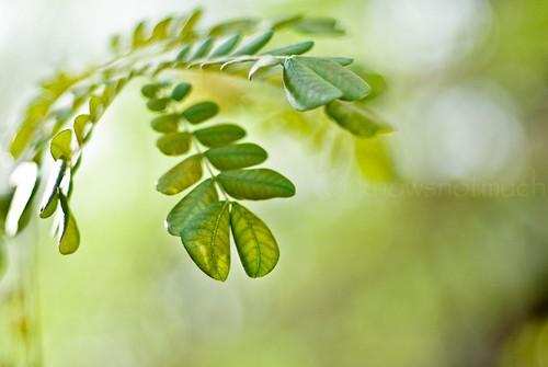 green 50mm leaf dof bokeh raintree