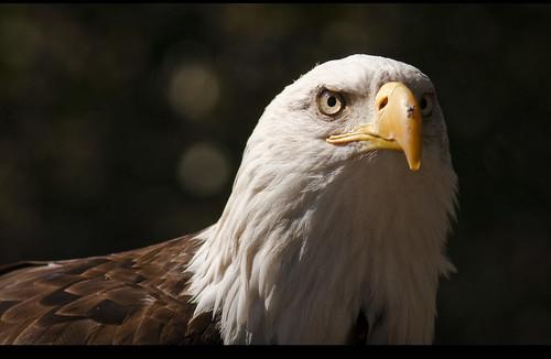 Eagle // Águila calva americana