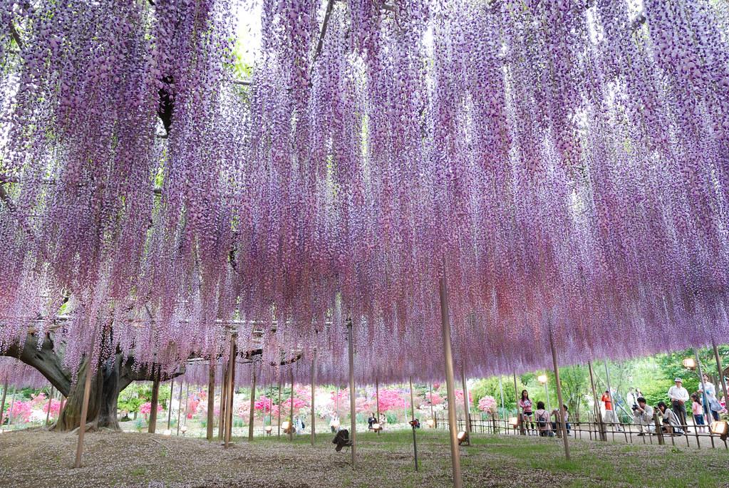 Glicina en el Parque de Flores Ashikaga de Tochigi, Japón