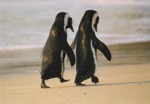 African Penguins Postcard