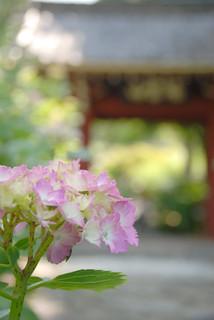 """あじさい寺 Temple with hydrangea   by """"KIUKO"""""""